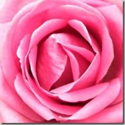 growing pink roses in colorado
