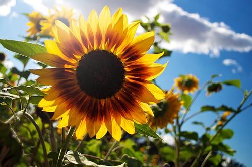 sun shining flower photography